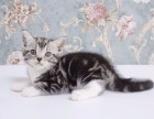 纯种短毛猫超低价出售/美短/折耳/加菲/金吉拉等 协议质保