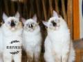 布偶猫.蓝猫