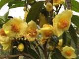 金花茶价格多少钱一斤 广西金花茶树苗价格及规格大全