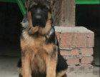 纯种保证赛级德国牧羊犬品质保证信誉第一欢迎上门挑选