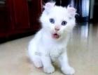 纯种暹罗猫宝宝1000低价出售