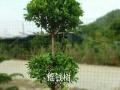 各种树苗 盆栽批发 零售