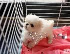 上海qiqii约克夏马尔济斯名犬俱乐部:特价出售马尔济斯幼犬