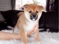 南京本地犬舍出售精品柴犬,可上门亲自挑选,多只可选择,品种多