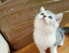 美短加白小母1500 猫咪价格以标题价格为准