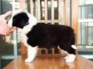 纯种边境牧羊犬出售 边牧幼犬 品质好 健康保证