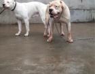 cku注册五星级犬舍 双血统杜高犬可上门挑选