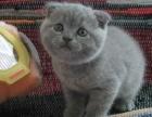 猫舍出售纯血统加菲猫白色家无病无癣保健康可上门1