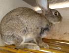 出售杂交野兔 比利时野兔多少钱一只 哪里有大型野兔养殖场