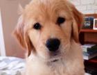 出售一只小金毛母,送狗笼日用品。680