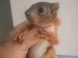 雪地金花魔王松鼠,飞鼠,迷你刺猬,蜜袋鼯