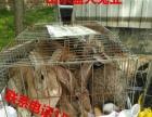 开封种兔多少钱一只肉兔养殖技术