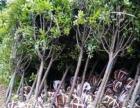 供应造型高端景观苗木,提供园林绿化种植养护,浏阳苗木直销