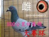 出售信鸽,成绩鸽,赛鸽,公棚鸽