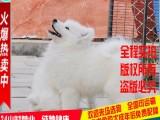 出售雪白色可爱温顺的萨摩幼犬 价格优惠 可视频