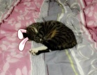 一岁家猫赠送