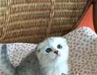 专业猫舍一美短一渐层一蓝猫一折耳猫一可上门看猫