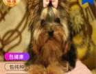 哪里有卖约克夏犬约克夏犬多少钱 支持全国发货
