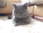 英短蓝猫单C血统,三个月了已做驱虫和疫苗