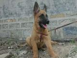 信誉第一 品质第一 马犬幼犬 健康质保