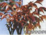 芽苗菜种子 2018新收香椿种子