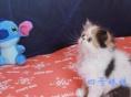 出售异国短毛猫(三花加菲猫)