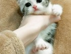 纯种短毛猫超低价转让/美短/折耳/加菲/金吉拉