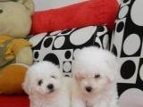 加微信13032504209家养纯种韩国血统的贵宾犬转让,