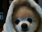 哈多利球型博美宠物狗 赛级纯种博美!可上门