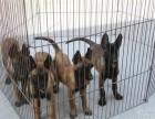 三个月的马犬低价出售 马犬价格