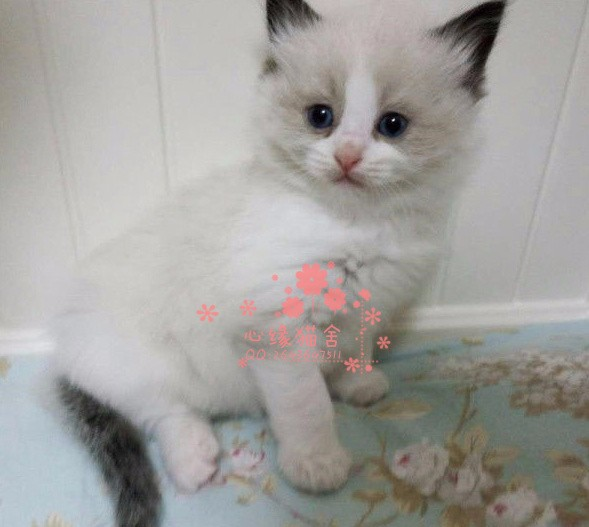 南宁宠物 南宁哪里的布偶猫较便宜 纯种布偶猫一般卖多少钱一只