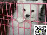 银狐犬好养么 养银狐犬 银狐犬图片小银狐犬多少钱