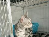 个人出售美国短毛猫,虎斑猫,母猫