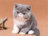 纯种蓝猫 加菲 布偶 老牌猫舍 签协议保健康 店面挑选