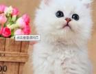 猫舍出售纯种金吉拉异国短毛猫呆萌保质量纯种健