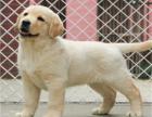 本地出售拉布拉多犬 四肢粗壮 疫苗齐全