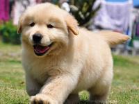 广州地区金毛多少钱一只巡回犬赛级品质 签协议 健康血统有保