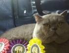 高品质英短蓝猫幼崽接受预定