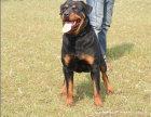 德系纯种罗威纳犬出售 精品赛级罗威纳犬防爆护卫犬高品质幼犬