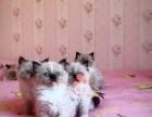 太原人都到哪里去买布偶猫 太原较便宜布偶猫价格