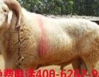 纯种种公羊价格
