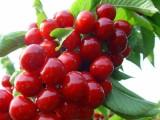 甘肃天水的樱桃时候成熟月经期可以吃樱桃去里买樱桃树