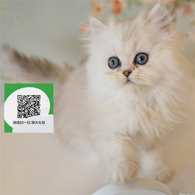 镇江哪里有宠物猫出售,镇江哪里有卖纯种金吉拉价格