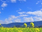 [周末]春游踏青赏山重油菜花、玛奇雅朵梦幻花海一日