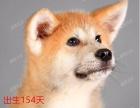 上海闵行狗场直销八公秋田犬 购买福利多多 疫苗齐全 签协议