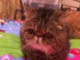 纯种加菲猫、活波可爱健康