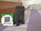 新乡在哪里卖健康纯种宠物猫 新乡哪里出售蓝猫
