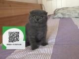 镇江哪里有蓝猫出售 镇江蓝猫价格 蓝猫多少钱