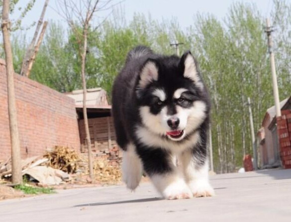 纯种十字架阿拉斯加雪橇活体幼犬 大骨架黑红桃子脸幼犬宠物狗狗