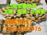 生姜种子批发 生姜种子销售